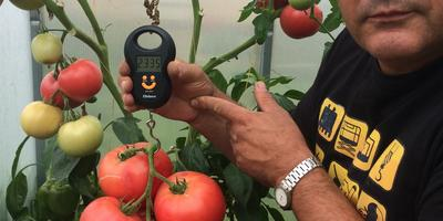 Кисть помидоров Малиновый закат 1 серии весом 2335 граммов