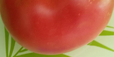 Самый крупный помидор