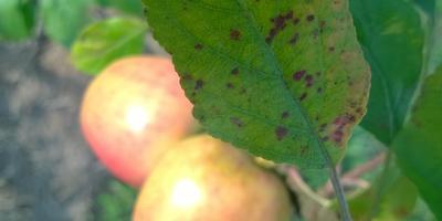 Помогите правильно определить болезнь яблонь