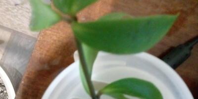 Помогите, пожалуйста, определить название лианы.