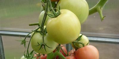 «100 000 рублей — за помидор!»