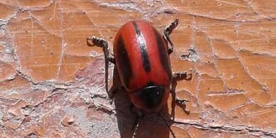 Помогите опознать жука