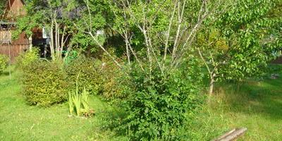 Алыча в этом году не плодоносила, в июле опали все листья, и она от корня пошла в куст. Что происходит и что делать?