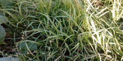 Подскажите, что за трава?