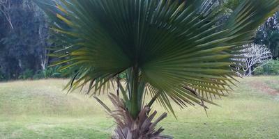 Подскажите, пожалуйста, что это за пальма?