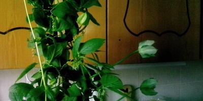 Подскажите, пожалуйста, что это за цветок?