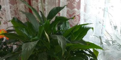 Подскажите, как называется это комнатное растение?