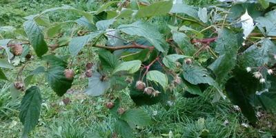 Малина начинает плодоносить только в октябре. В чем причина?