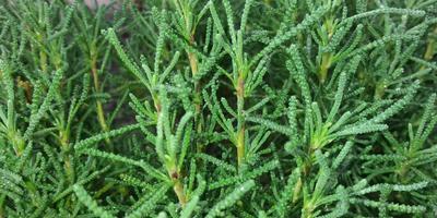 Помогите определить название вечнозеленого растения