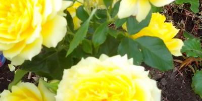 Вокруг кустов роз вырос ковром портулак, цветёт всё лето ярко и красиво. Такое соседство допустимо?