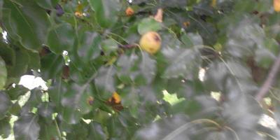 Что это за фрукт?