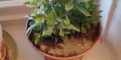 Что за домашнее растение?
