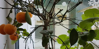 Что с моим мандарином? Сбрасывает листья. Ветки сохнут