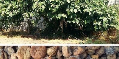 Где и как можно использовать сухие плоды инжира