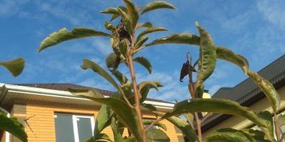 Что за насекомое повредило верхушки побегов персика, сливы, черешни? Как с этим бороться?