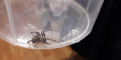 Нашла паука дома. Не опасен ли он?