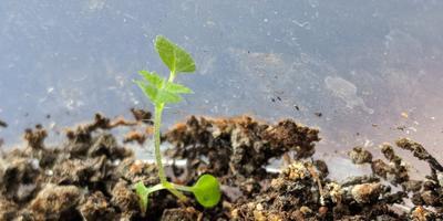 Что за растение растет в горшке с драценами?
