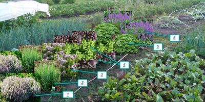 Пряная грядка–клумба на огороде