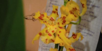 Подскажите название орхидеи