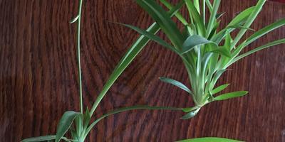 Можно  отрезать уже такие розетки хлорофитума и поставить воду? Они пустят корни?