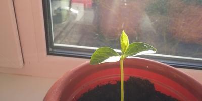 Подскажите, что за растение выросло?