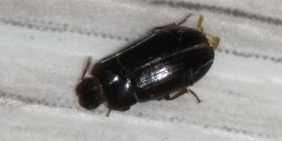Помогите узнать, что это за жук