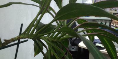 Подскажите, как «выровнять» пальму в офисе?