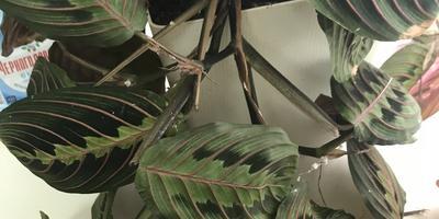 Подскажите название растения и как вернуть его к жизни?