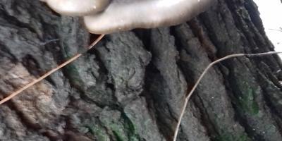 Как правильно заделать дупло и трещину в шелковице?