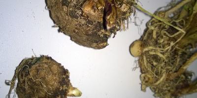 Какой стороной сажать проросшие луковицы калл?