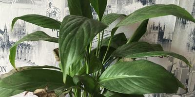 Помогите понять, почему у моего спатифиллума сохнут листья?