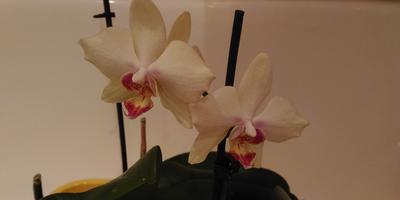 Подскажите название или сорт орхидеи