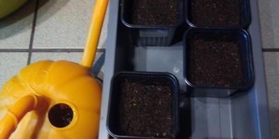 Посев томатика Котя F1 (Партнер)