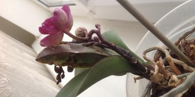 Помогите понять, что с листьями фаленопсисов