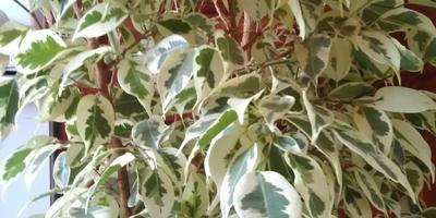 Листья фикуса засыхают и опадают. Помогите спасти