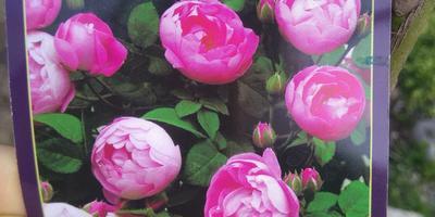 Помогите, пожалуйста, определить название сорта этой розы