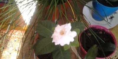 Подскажите, пожалуйста, название белого цветка!