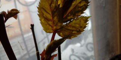 Это болезнь у розы? Или после зимовки такое возможно?
