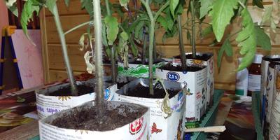 Сохнут листья рассады томатов, на грунте белая плесень. Что делать?