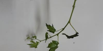 Почему на саженце винограда молодые листочки по краям чернеют, усыхают и осыпаются?