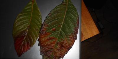 Листья всех растений на участке покрываются темно-красными пятнами. Что это такое? Как от этого избавиться?
