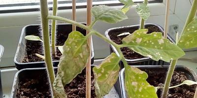 Что с рассадой помидоров и как ей помочь?