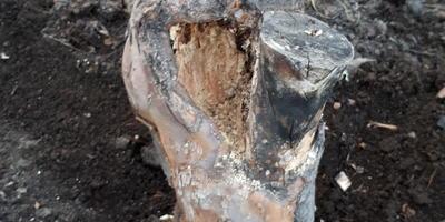 В стволе яблони рыхлая древесина. Можно ли ее спасти?