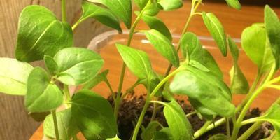 Помогите, пожалуйста, определить, что за растение