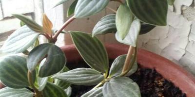 Как называется это домашнее растение?