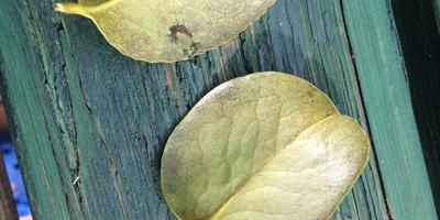 На листьях камелии пятна, листья опадают. Что делать?