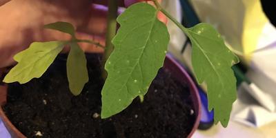 Нижние листья рассады томатов желтеют, засыхают и отваливаются. На верхних - желтые вкрапления. Как исправить ситуацию?