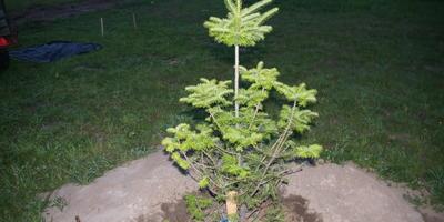 У пихты имеется пробел между макушкой и нижней частью. Могут ли вырасти новые ветви в этом промежутке?