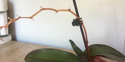 У орхидеи цветонос высох, но листья продолжают расти. Что делать?