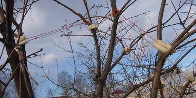 Как получить урожай яблок и сохранить ветви: нестандартный взгляд на подпорки